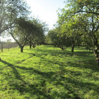 Apple Orchard - Whitehall Farm