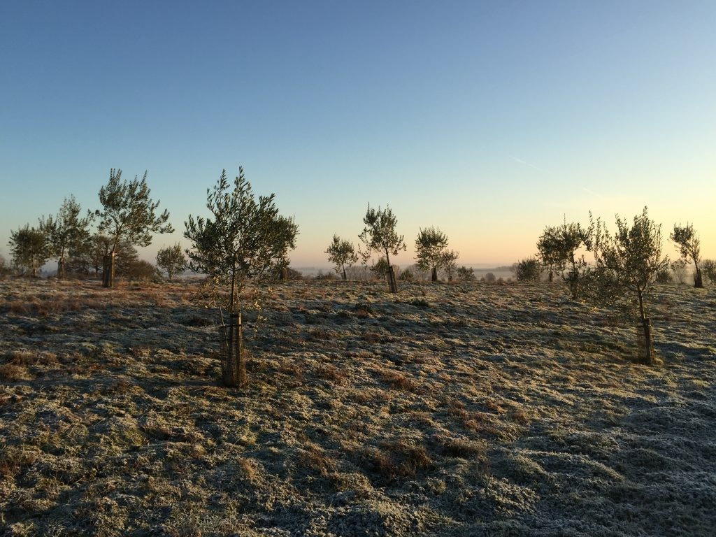 Winter on the olive grove