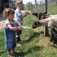 Bottle-feeding lambs for film or photo shoots