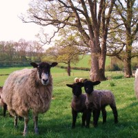 Lambing time for film or photo shoots