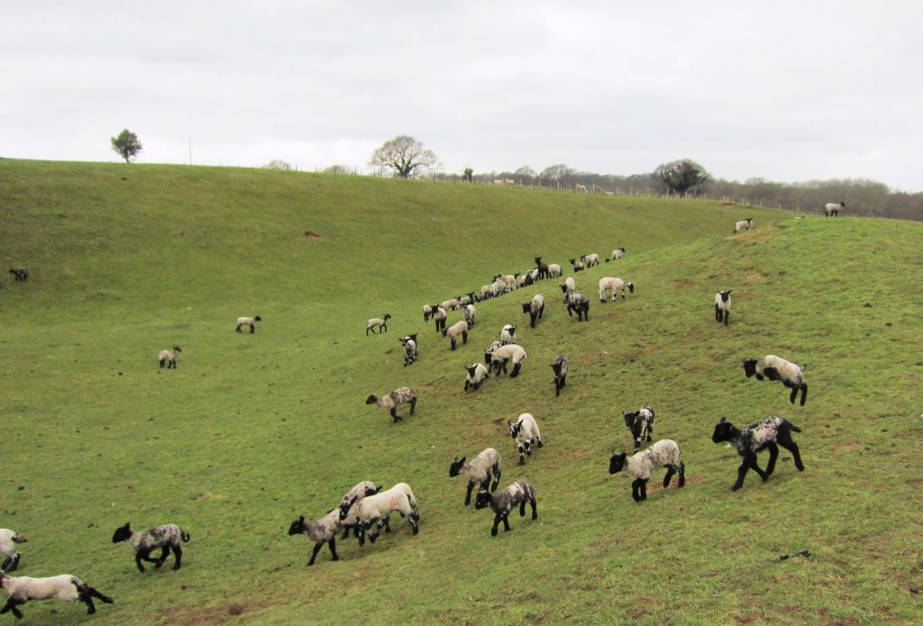 Lambs on film set on farm location in Sussex