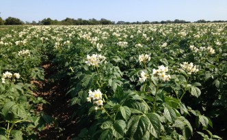 Potatoes in flower - Whitehall Farm