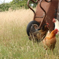 Chicken at Lidham Hill Farm