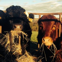 Dexter cattle at Lidham Hill Farm