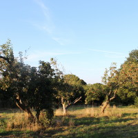 Old orchard at Lidham Hill Farm