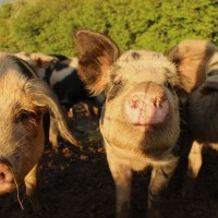 Pigs at Lidham Hill Farm