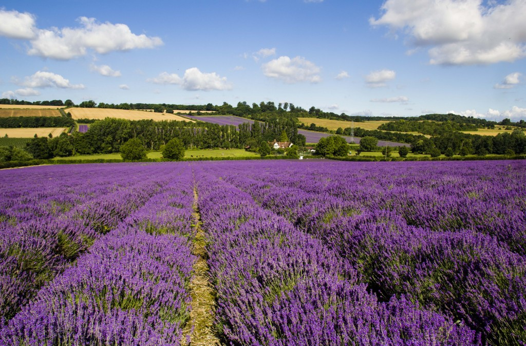 Lavender fields in Summer - Austin Farm