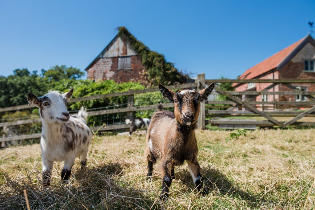Hay Meadow Farm goats
