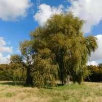 Humphries Farm weeping willow